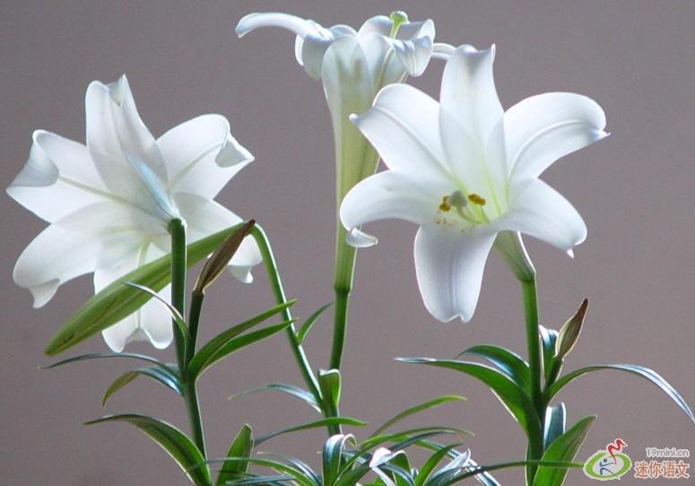 卷 课件论文 作文素材 视频朗读 名著导读 -美丽娇艳的花朵 0 0